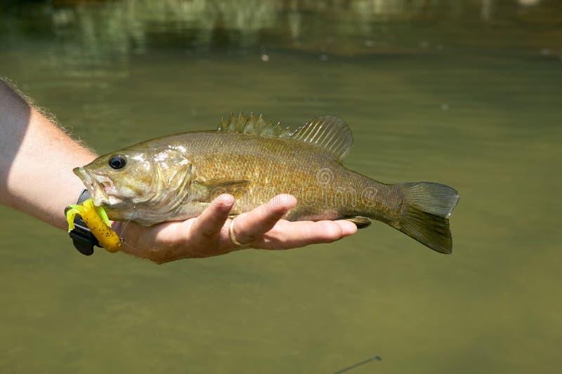 Рыболов держа свеже уловленного баса smallmouth стоковое фото