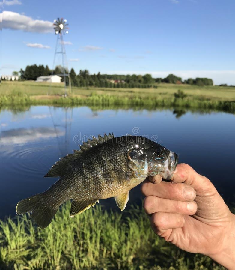 Рыболов держа Bluegill стоковое фото