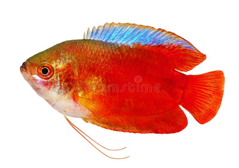 Рыбы аквариума красного lalius Trichogaster осфронемовых пламени пресноводные изолированные на белизне стоковое изображение