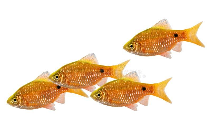 Рыбы аквариума румяного conchonius Pethia роя колючки пресноводные тропические стоковые фото
