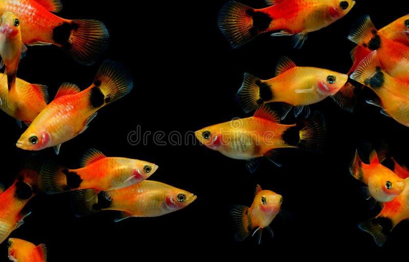 Рыбы аквариума рыб Молли стоковое фото