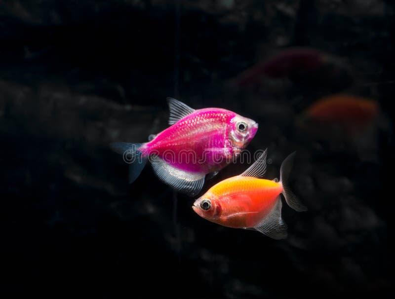 Рыбы аквариума Черное tetra Ternetzi Gymnocorymbus Яркие накаляя цвета angoras r стоковые фото