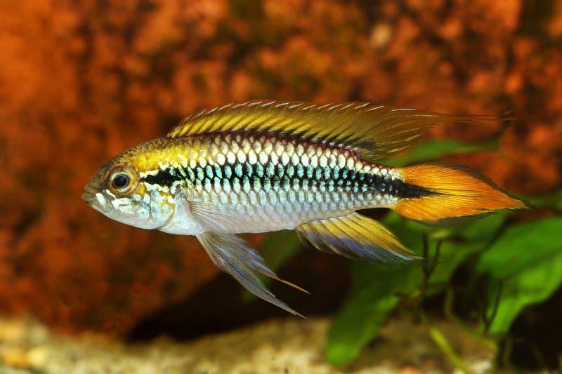Рыбы аквариума Apistogramma Agassizii cichlid карлика Agassiz стоковое фото rf