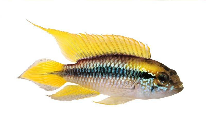 Рыбы аквариума Apistogramma Agassizii cichlid карлика Agassiz стоковые фото