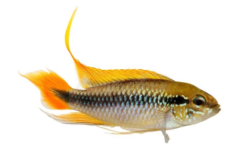 Рыбы аквариума Apistogramma Agassizii cichlid карлика ` s Agassiz стоковые фото