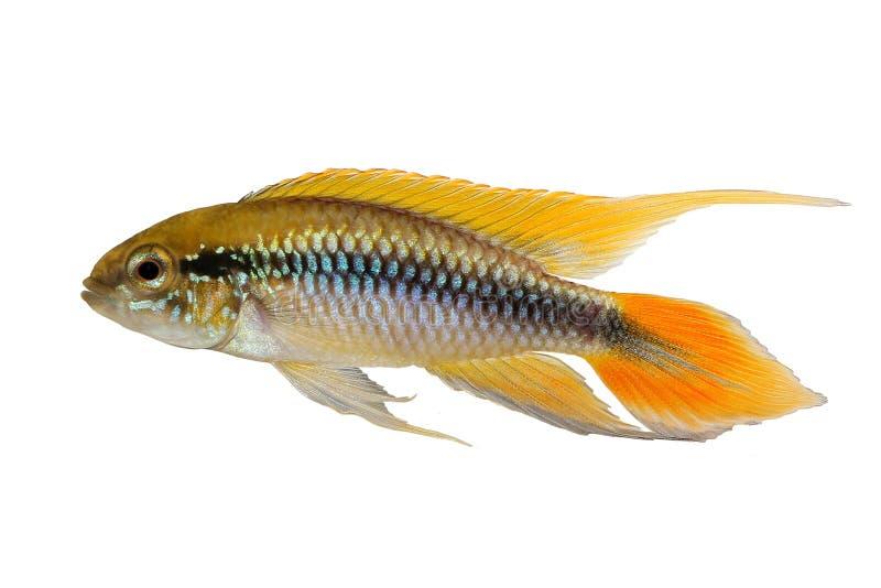 Рыбы аквариума Apistogramma Agassizii cichlid карлика ` s Agassiz стоковое фото rf