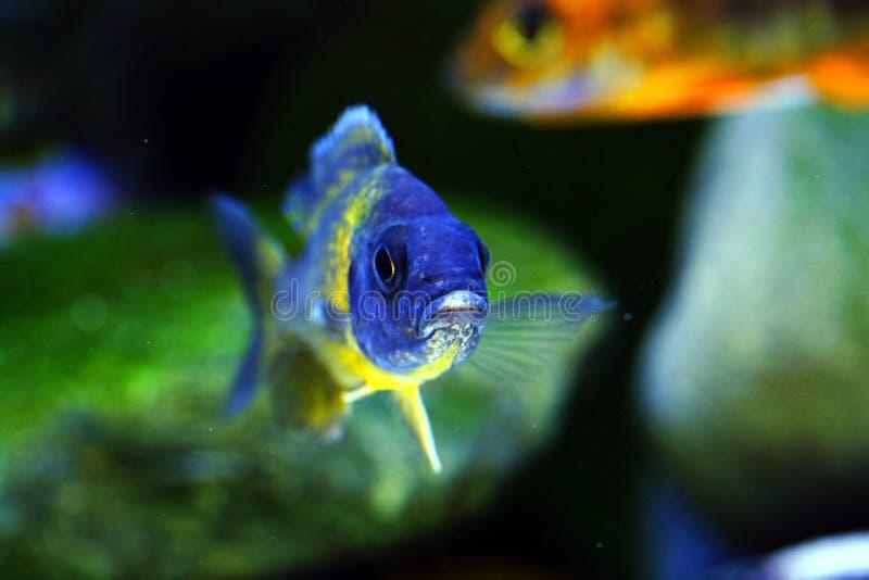 Рыбы аквариума cichlid Малави африканца пресноводные стоковая фотография