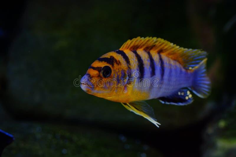 Рыбы аквариума cichlid Малави африканца пресноводные стоковые изображения rf