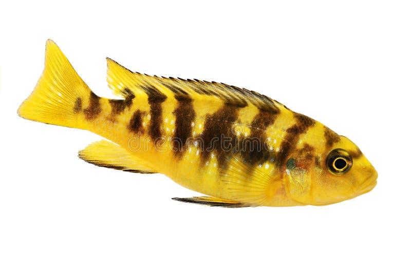 Рыбы аквариума crabro Pseudotropheus cichlid шмеля тропические стоковая фотография