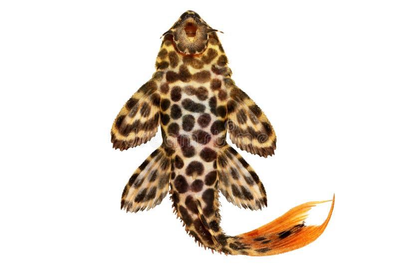 Рыбы аквариума leopardus Pleco Pseudacanthicus кактуса леопарда стоковые изображения
