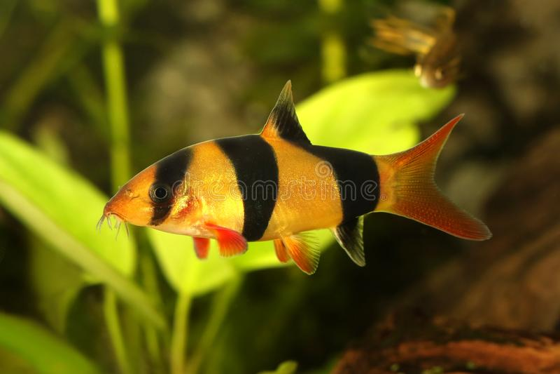 Рыбы аквариума macracanthus Botia сома botia тигра гольца клоуна стоковое фото