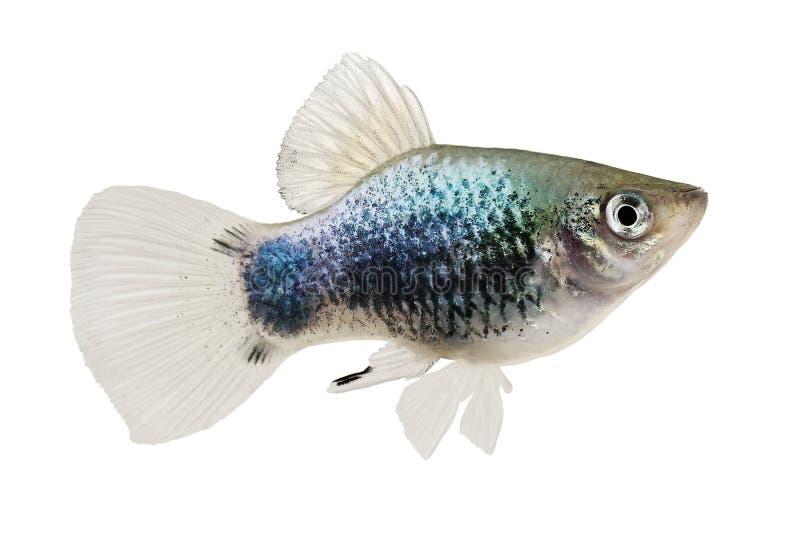 Рыбы аквариума Platy мыши Xiphophorus Maculatus Mickey трясогузки Platy неоновые голубые стоковое фото rf