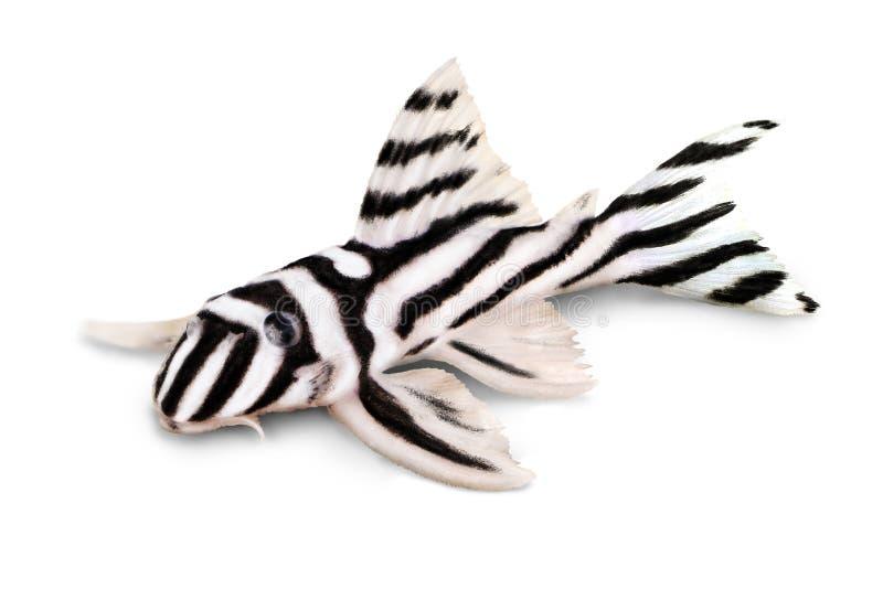Рыбы аквариума Plecostomus зебры Pleco L-046 Hypancistrus зебры стоковое изображение