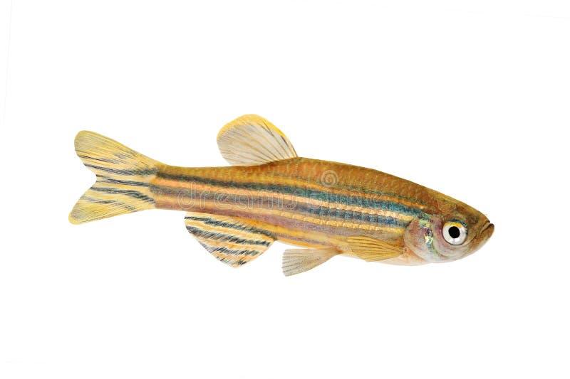 Рыбы аквариума rerio Danio колючки зебры Zebrafish пресноводные стоковые изображения rf