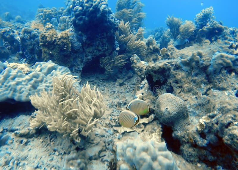 Рыбы ангела подводные стоковые фотографии rf