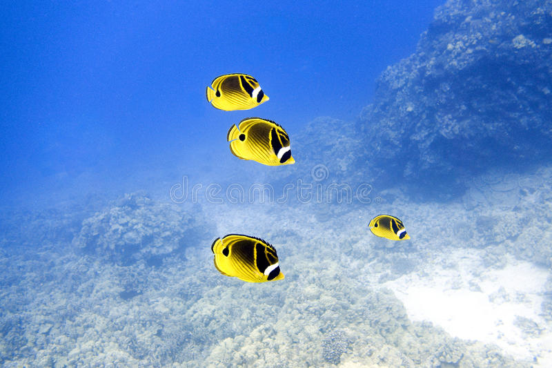 Рыбы бабочки енота в темносиней воде стоковые изображения rf