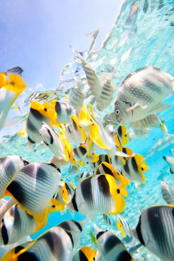 Рыбы бабочки стоковые фото