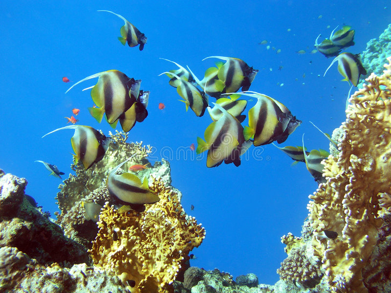 рыбы бабочки стоковая фотография