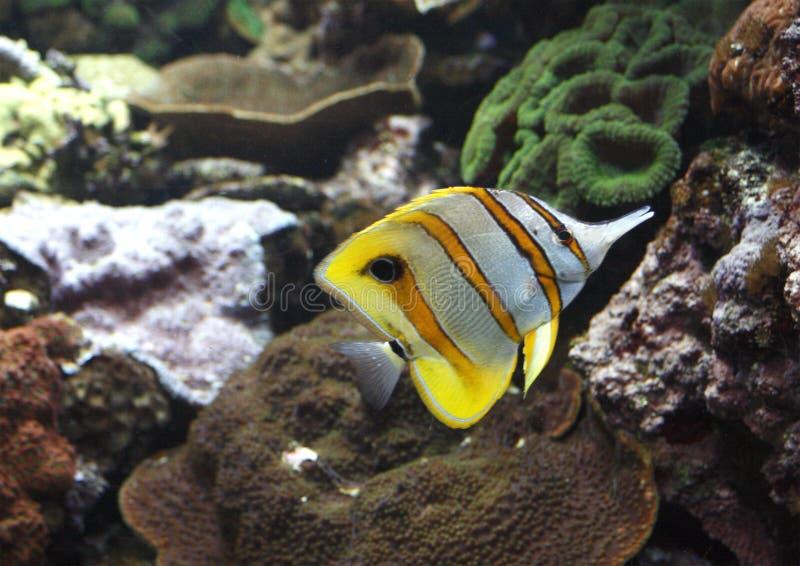 рыбы бабочки стоковое изображение rf