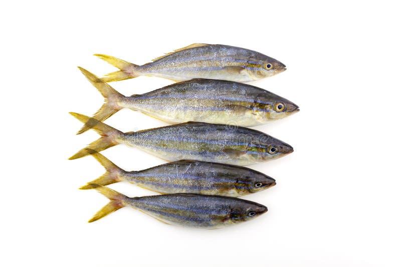 Рыбы бегуна радуги на белой предпосылке стоковое изображение rf