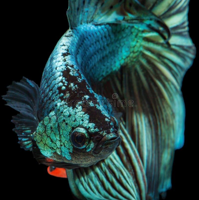рыбы бой сиамские стоковое изображение rf