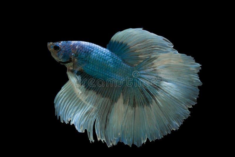 рыбы бой сиамские стоковые фото