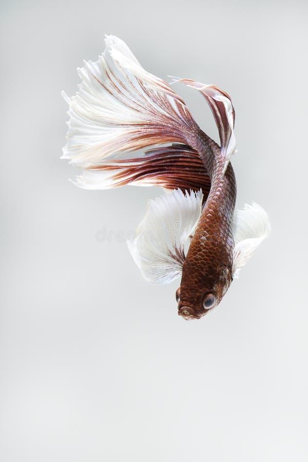 Рыбы большого ребра сиамские воюя на серой предпосылке стоковое изображение