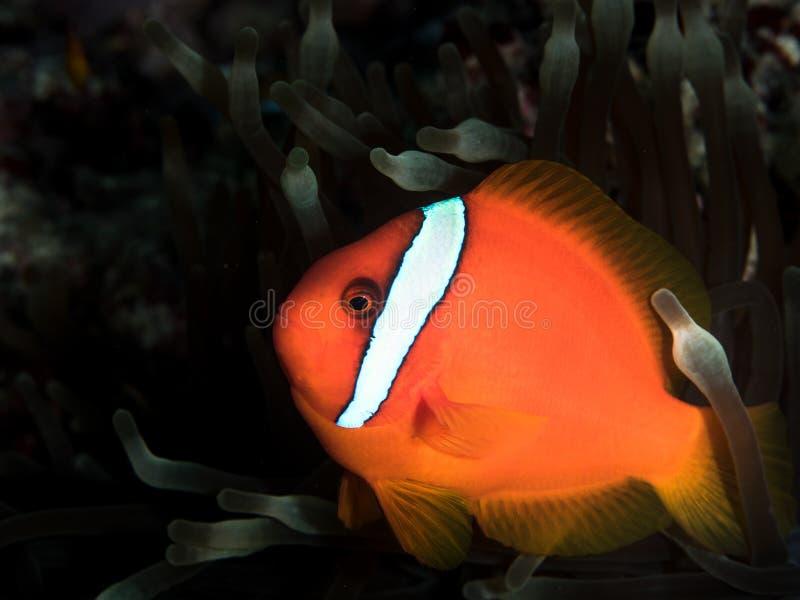 Рыбы ветреницы стоковые изображения rf