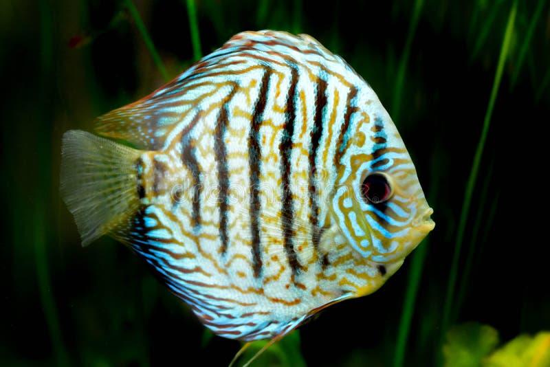 Рыбы в аквариуме, тропические рыбы диска в аквариуме Диск Symphysodon от Амазонкы Голубой диамант, snakeskin, стоковое изображение rf