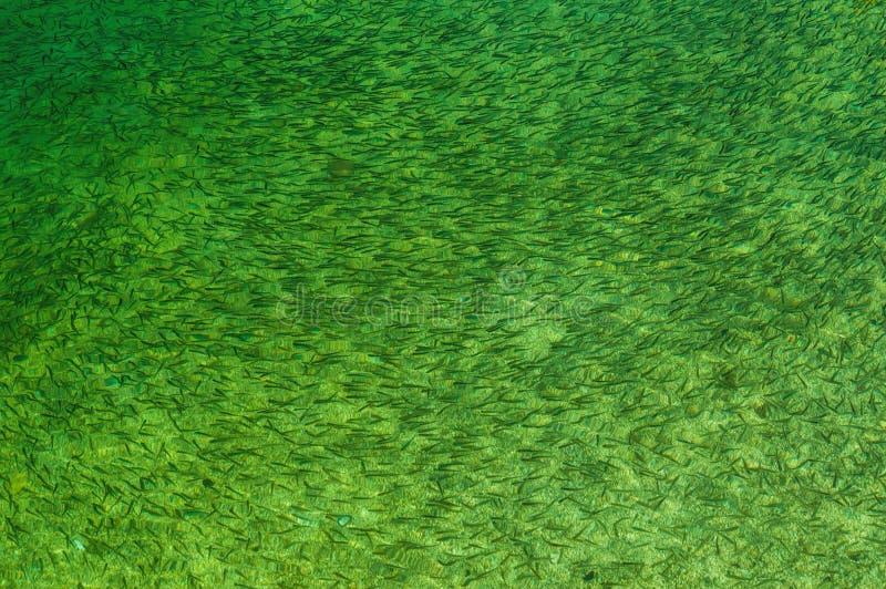 Рыбы в зеленое пресноводном Стоковые Фото