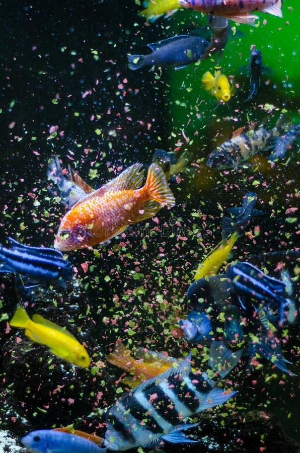 Рыбы есть еду хлопьев стоковые фотографии rf