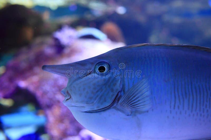 Рыбы единорога в аквариуме стоковое изображение