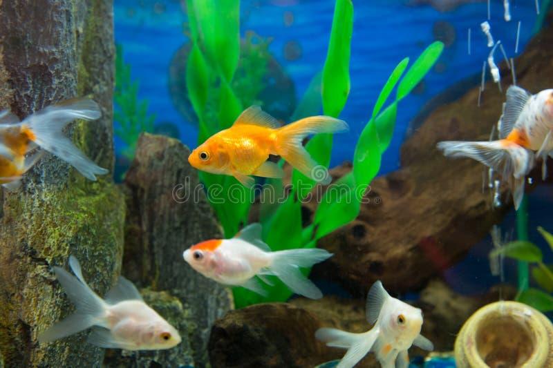Рыбы золота стоковое фото