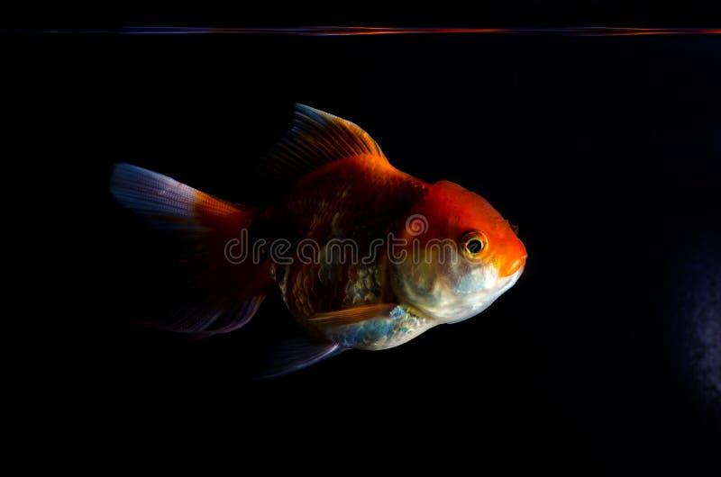 Рыбы золота на черно- предпосылке стоковое фото