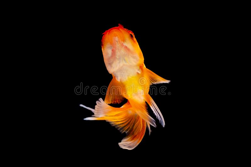 Рыбы или рыбка золота изолированные на черной предпосылке стоковое фото