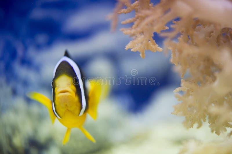 Рыбы и коралл клоуна стоковые фотографии rf
