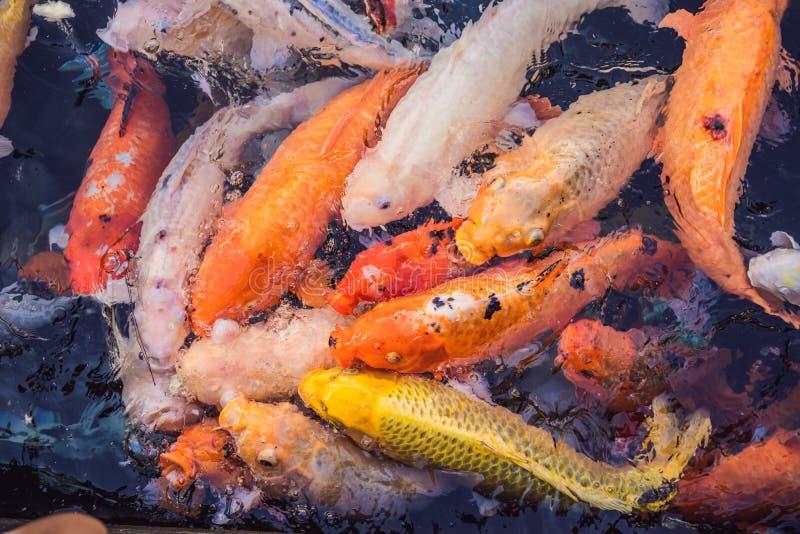 Рыбы карпа вычуры, карп зеркала, Romaji, Koi, Nishikigoi Cyprinus подвида haematopterus carpio вид  стоковое изображение rf