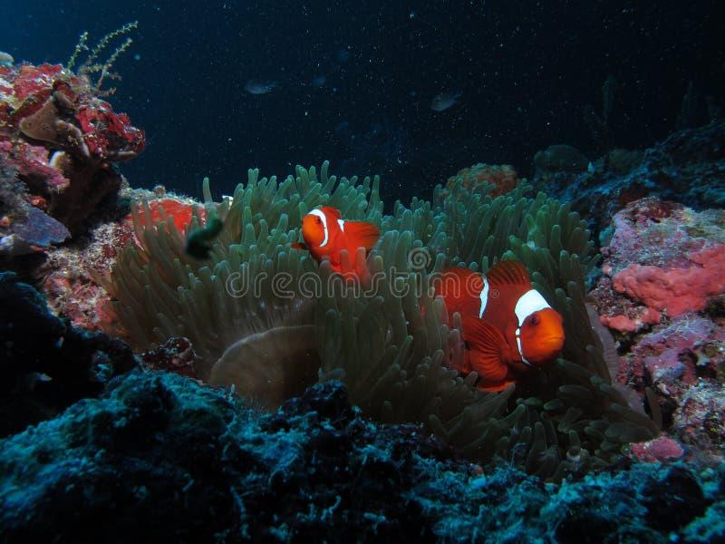 Рыбы клона стоковые изображения