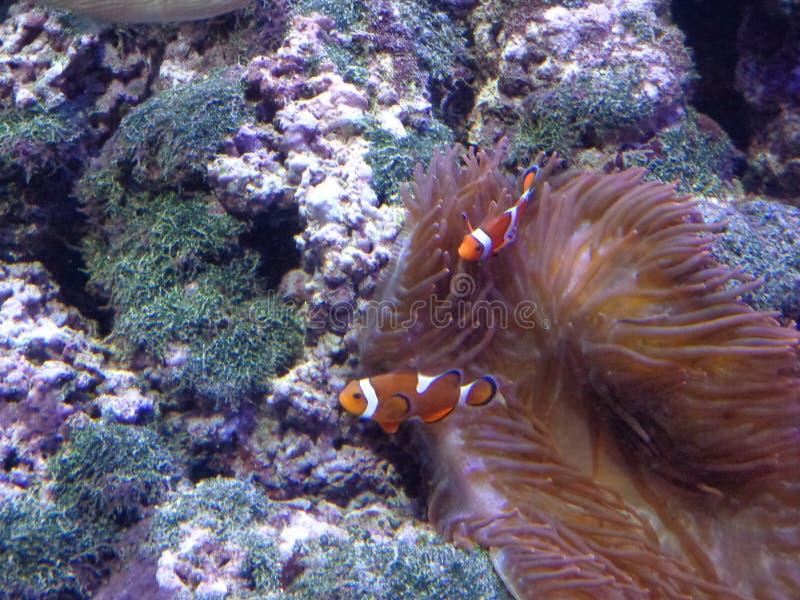 Рыбы клоуна стоковые изображения