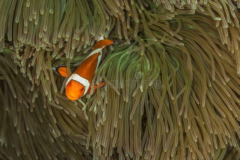 Рыбы клоуна томата в anenome стоковые изображения rf