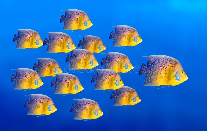 рыбы коралла angelfish изолировали тропическое стоковое изображение