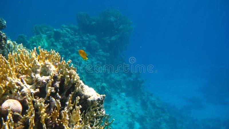 Рыбы кораллового рифа уединённые стоковые фото