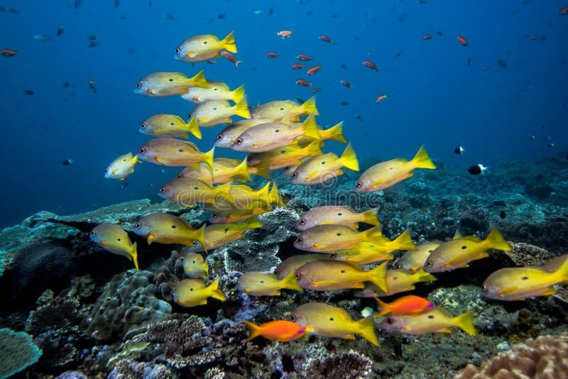 Рыбы луциана Dory плавая над рифом стоковые фото
