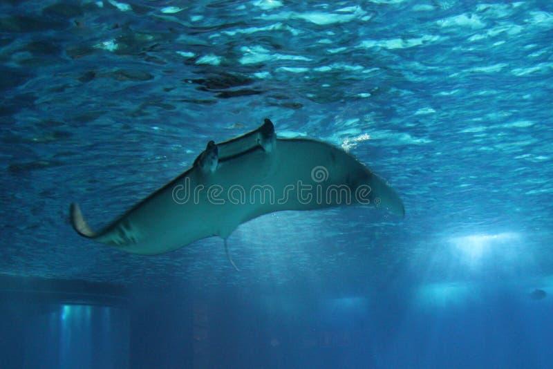 Рыбы морского дьявола плавая под водой стоковая фотография rf