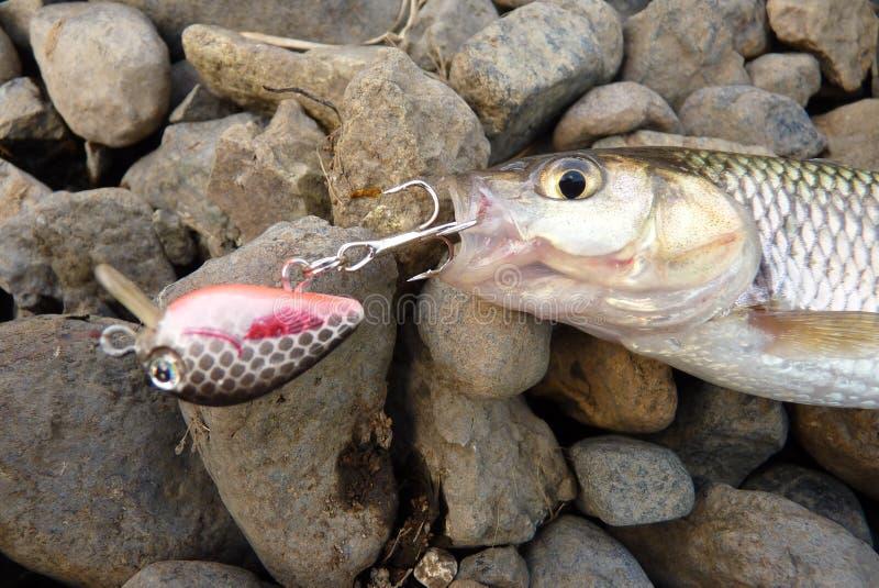 Рыбы на прикорме стоковые изображения rf