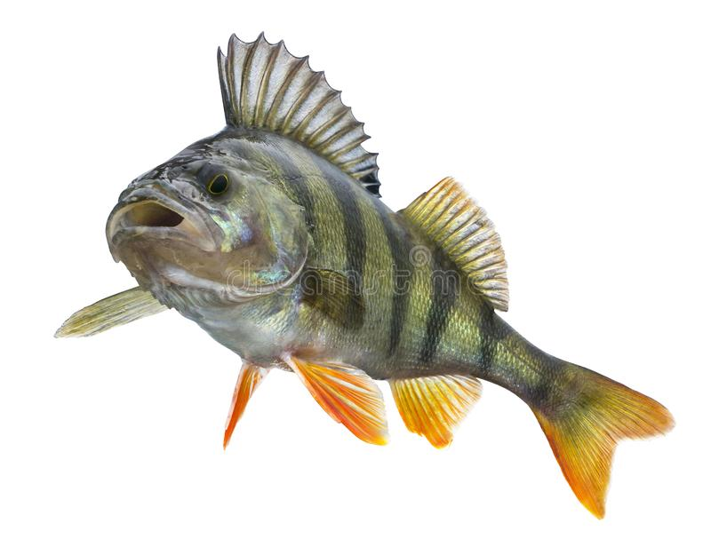 если картинки рыба окунь на белом фоне умна