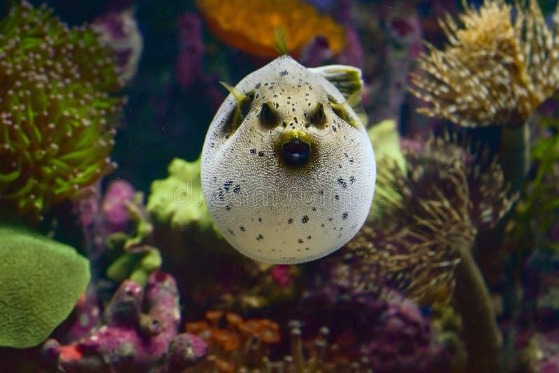 рыбы приустьевых и моря скалозуба от заказа Tetraodontiformes стоковые фотографии rf