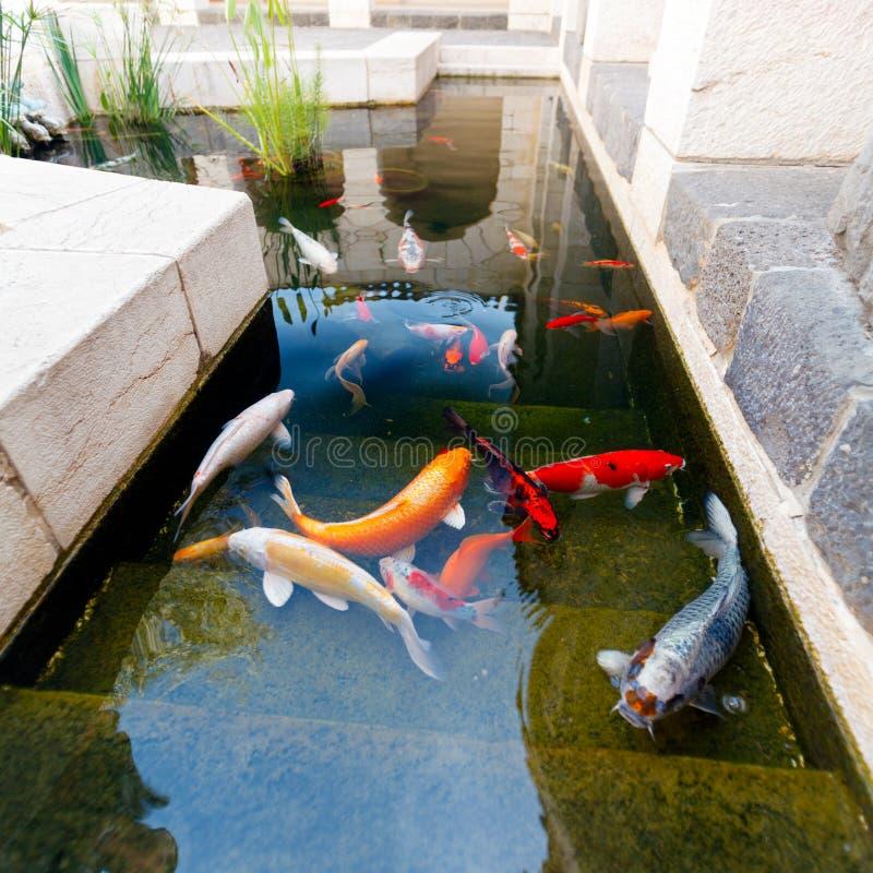 Рыбы пруда Koi стоковое изображение rf