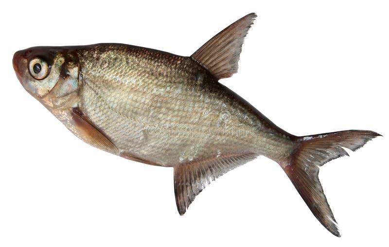 Рыбы реки изолированные на белой предпосылке подъязок стоковая фотография rf