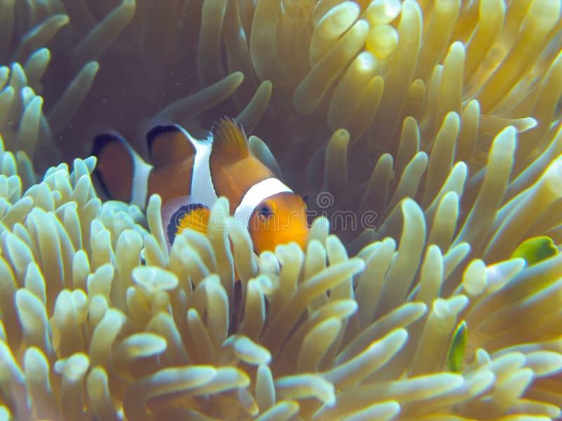 рыбы самонаводят nemo стоковые фото